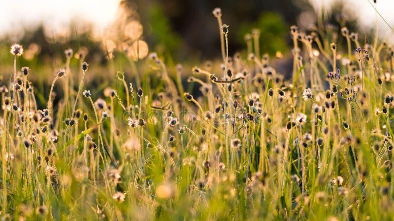 在金黄太阳光的野花 免版税图库摄影