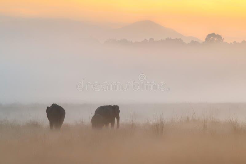 在金黄日出期间,亚洲大象在自然栖所走 库存图片