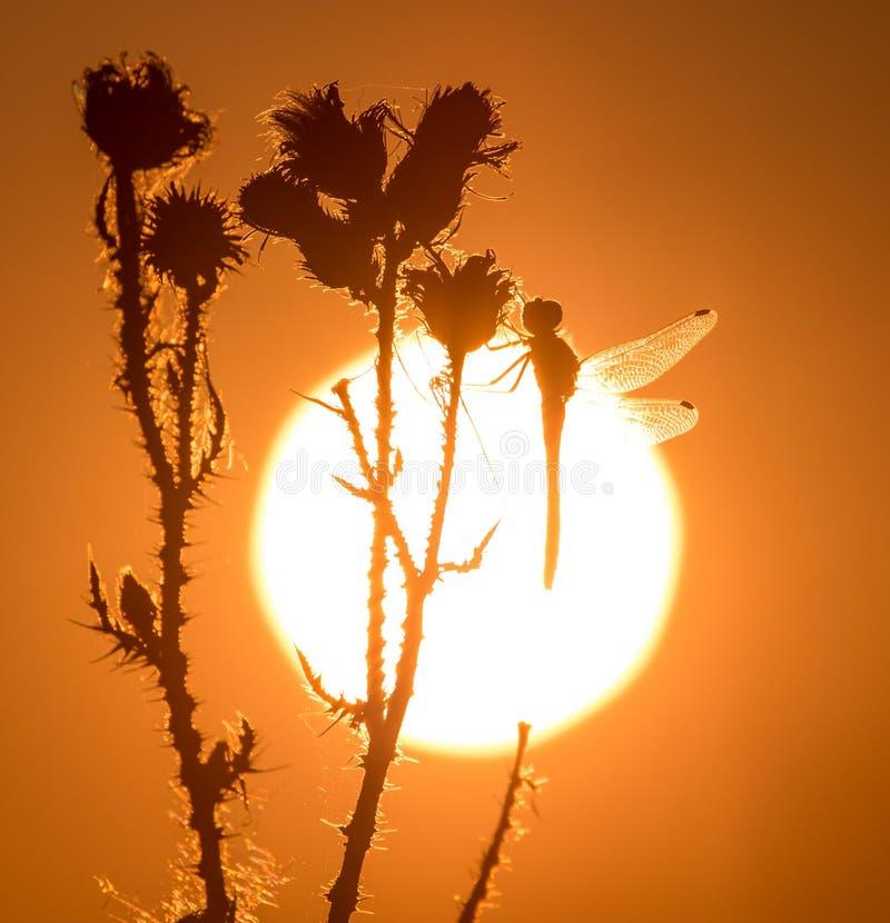 在金黄日落的蜻蜓本质上 免版税库存图片