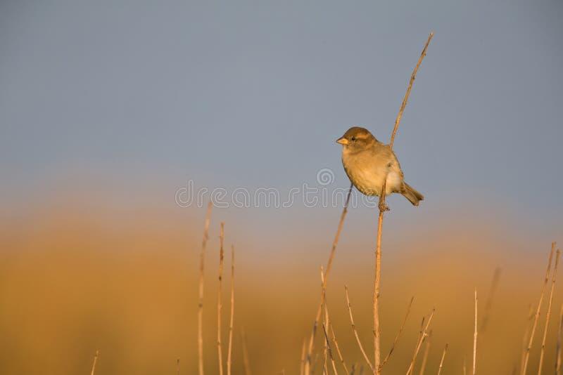 在金黄早晨太阳的一个芦苇分支栖息的一女性麻雀传球手domesticus 库存图片