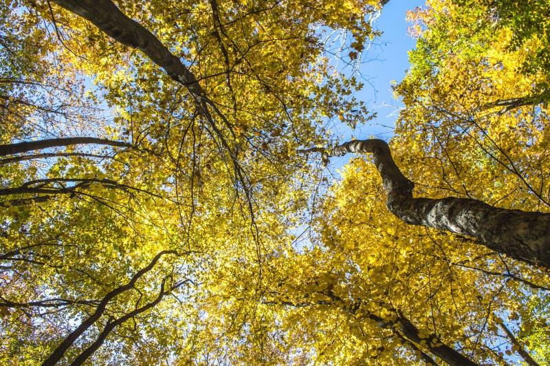 在金黄树的天空从下面加冠,看法 库存图片