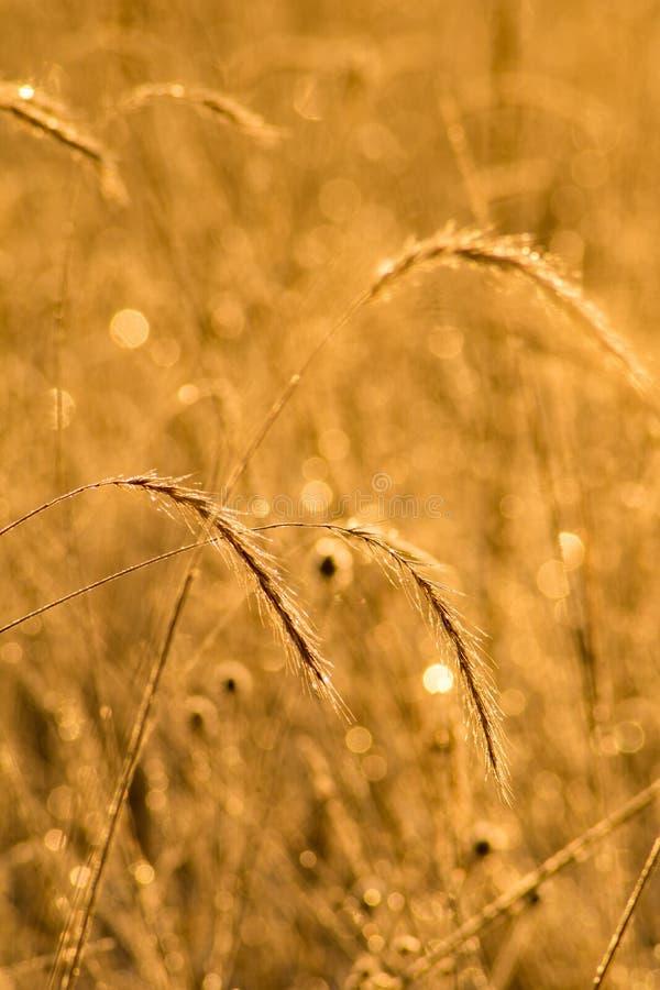 在金黄清早光沐浴的草甸厂 库存照片
