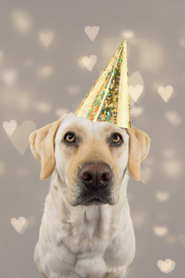 在金黄生日或新年帽子的狗 庆祝党的拉布拉多猎犬 被隔绝的演播室射击,反对灰色五颜六色 免版税库存图片