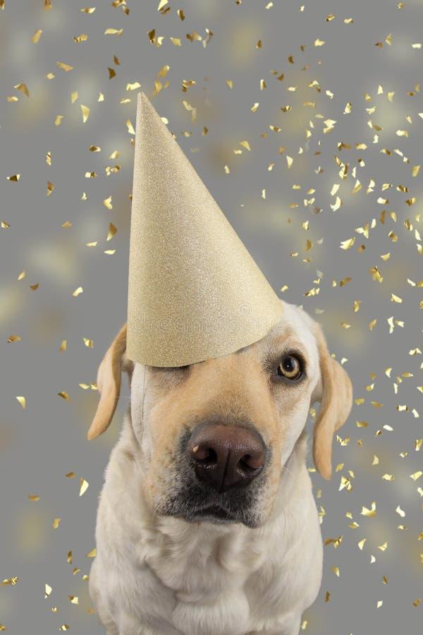 在金黄生日或新年帽子的狗 庆祝党的拉布拉多猎犬 被隔绝的演播室射击,反对灰色五颜六色 免版税库存照片