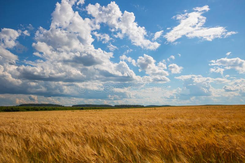 在金黄领域的多云天空 以前雨 免版税库存照片