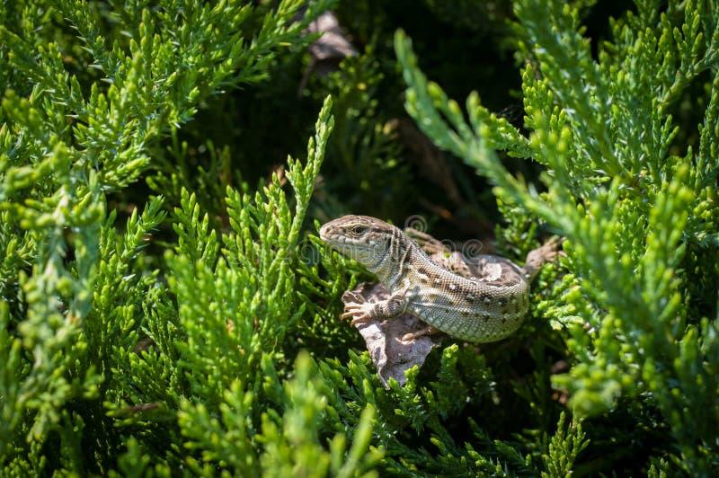 在针叶树灌木的分支的大蜥蜴 库存图片