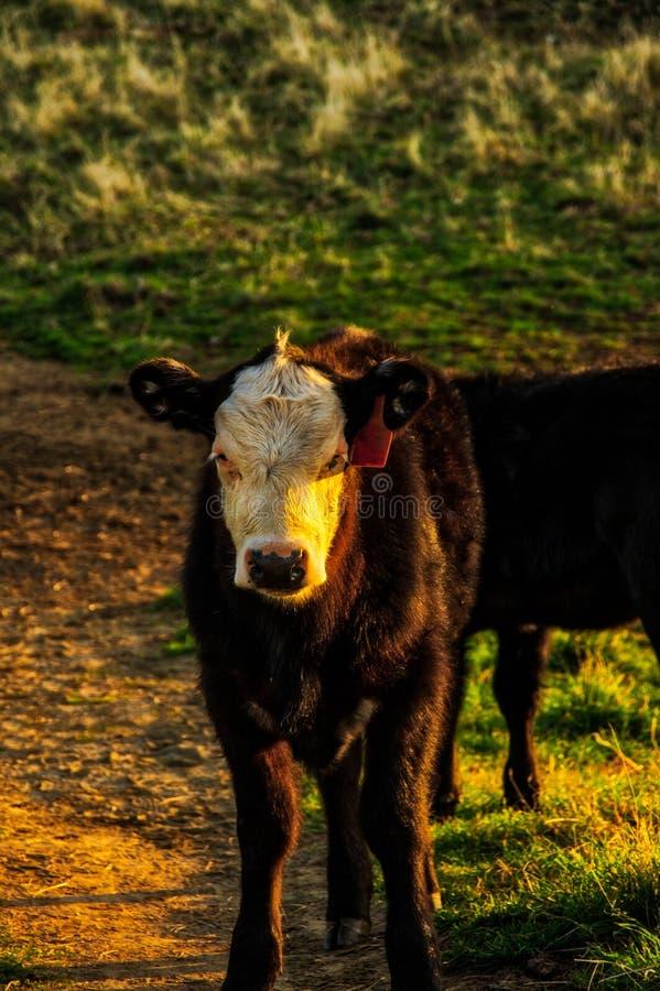 在针垫山顶部的母牛在早晨光 库存图片