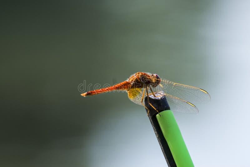 在钓鱼RodRed蜻蜓的红色蜻蜓在钓鱼竿支持 免版税库存照片