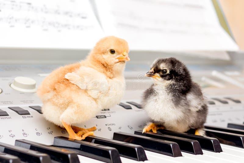 在钢琴钥匙的两只小小鸡 执行音乐剧与duet_ 库存图片