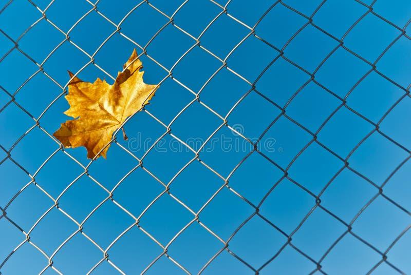在铁丝网捉住的黄色秋天秋天叶子 免版税库存图片