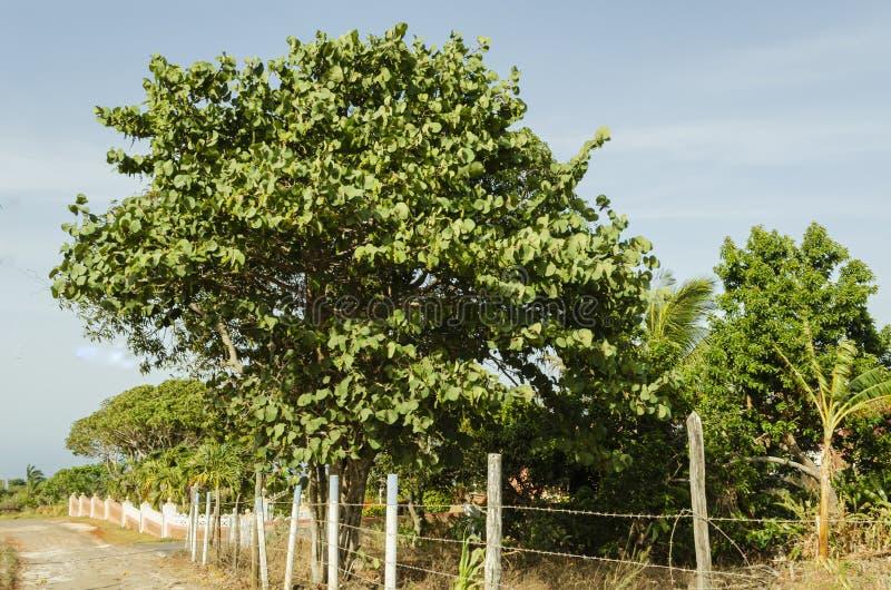 在铁丝网旁边的大Seagrape树 库存图片