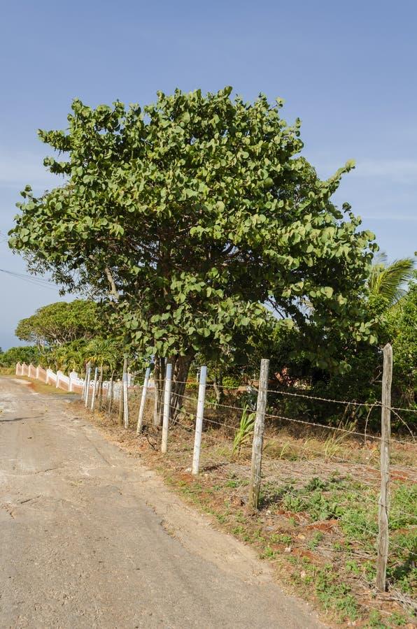 在铁丝网旁边的Seagrape树 免版税库存照片