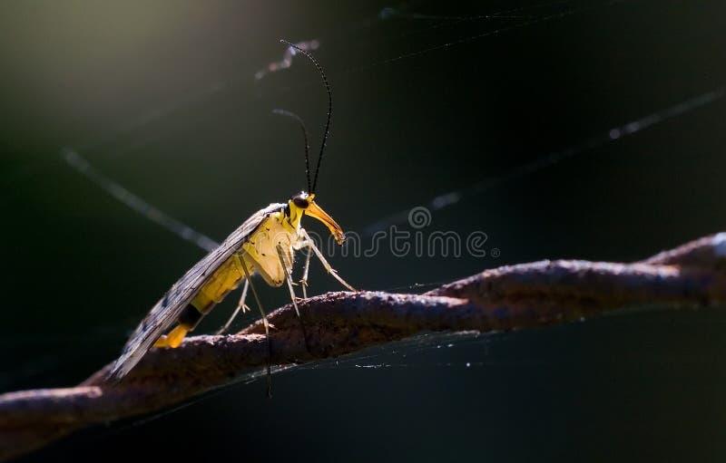 在铁丝网的Scorpionfly 免版税库存照片