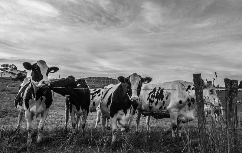 在铁丝网篱芭后的BW霍尔斯坦母牛 免版税库存照片
