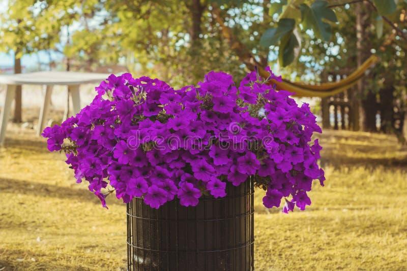 在铁罐的紫色喇叭花 库存照片