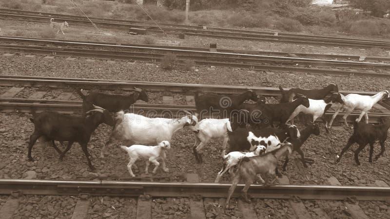 在铁路的山羊 免版税图库摄影