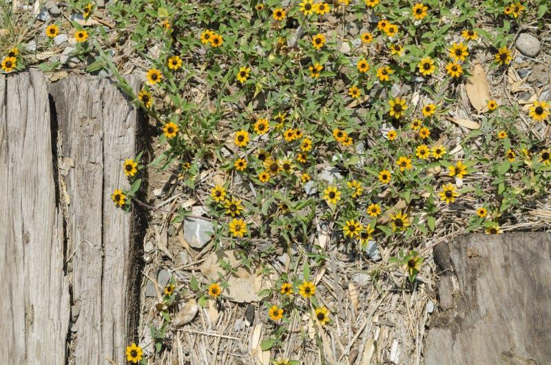 在铁路的黄色春天花 库存图片
