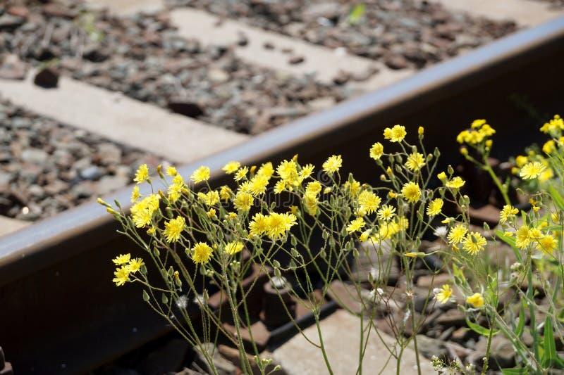 在铁路的黄色春天花 免版税库存图片