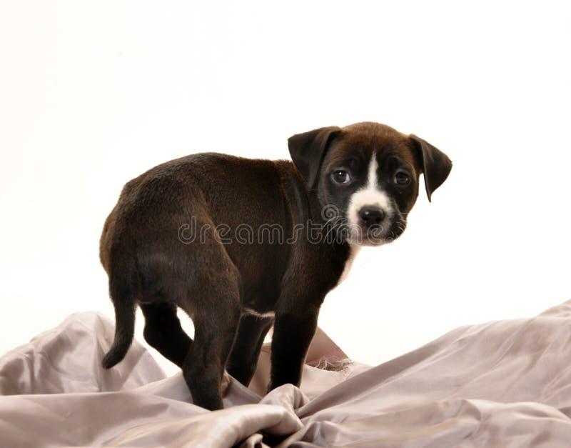 在银色板料的可爱的小狗 免版税库存图片