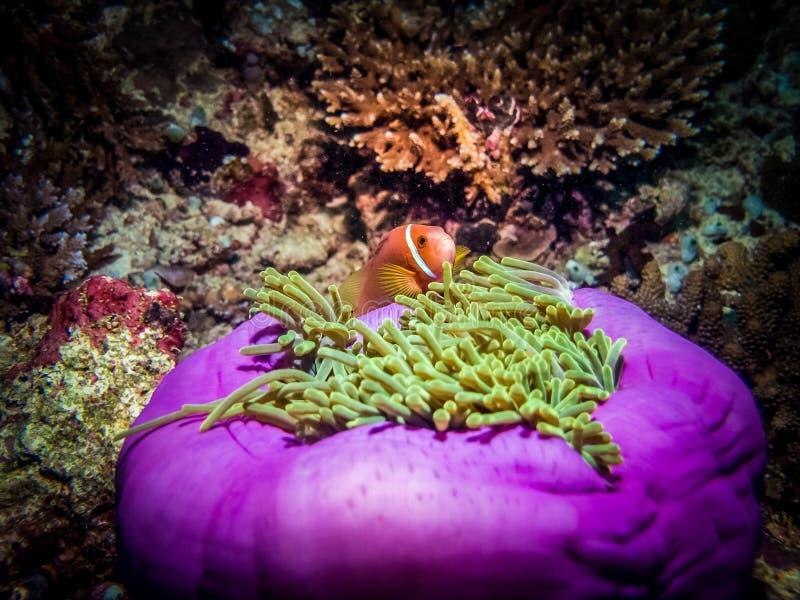 在银莲花属的橙色双锯鱼在马尔代夫的一次潜水的游览时 免版税库存图片