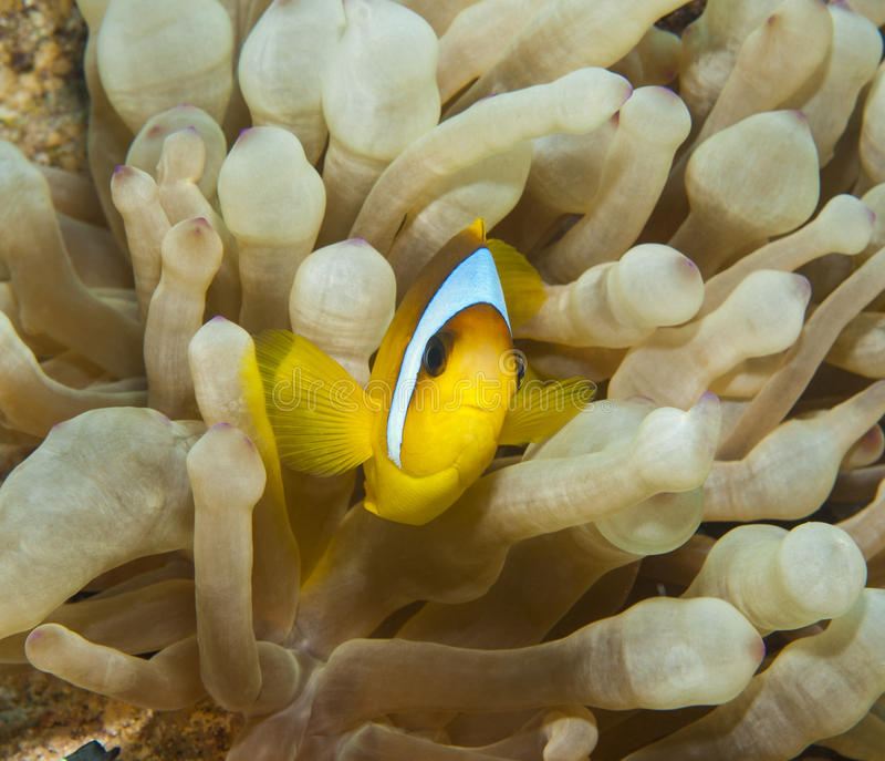 在银莲花属的红海anemonefish 免版税图库摄影