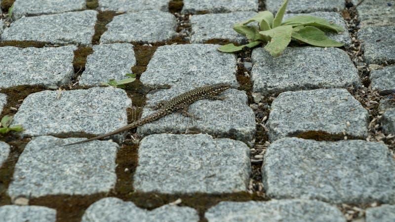 在铺路石的蜥蜴在公园特写镜头 免版税库存图片