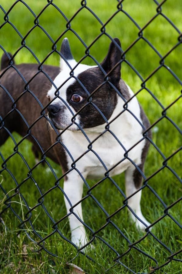 在链子连接的篱芭后的狗 免版税库存图片