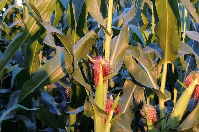 在镇的玉米 库存图片