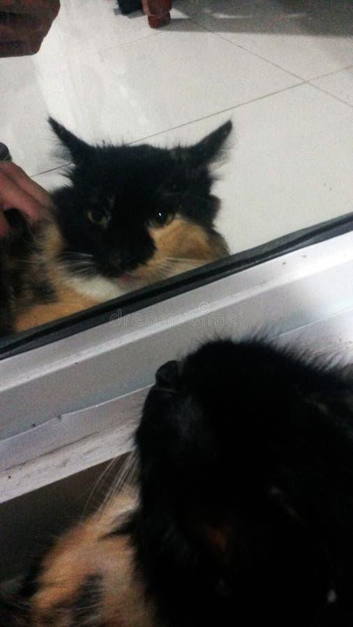 在镜子的猫 库存图片
