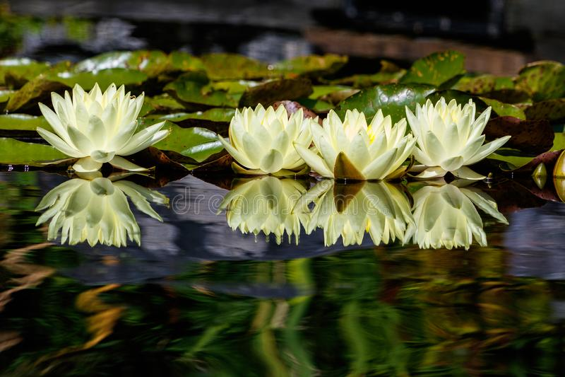 在镜子的Waterlily 免版税库存照片