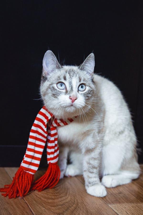 在镶边围巾的逗人喜爱的白色猫坐查寻的地板 库存图片