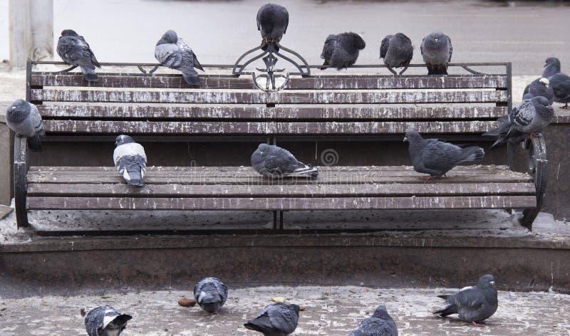 在长凳的鸽子 免版税库存图片