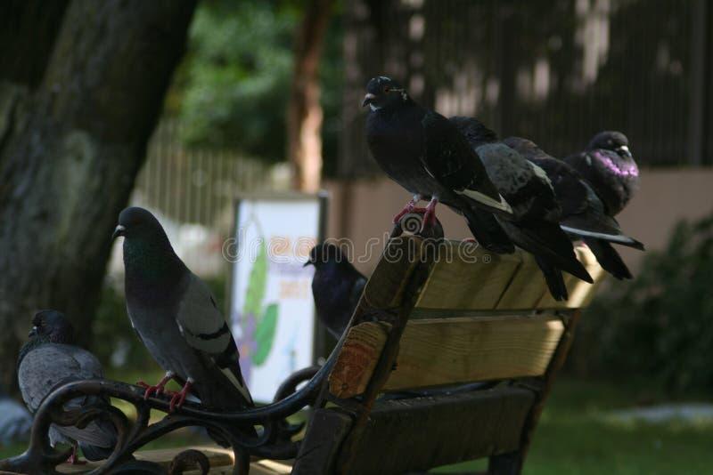 在长凳的鸽子 库存照片