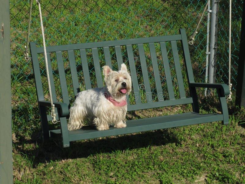 在长凳的Westie 库存照片