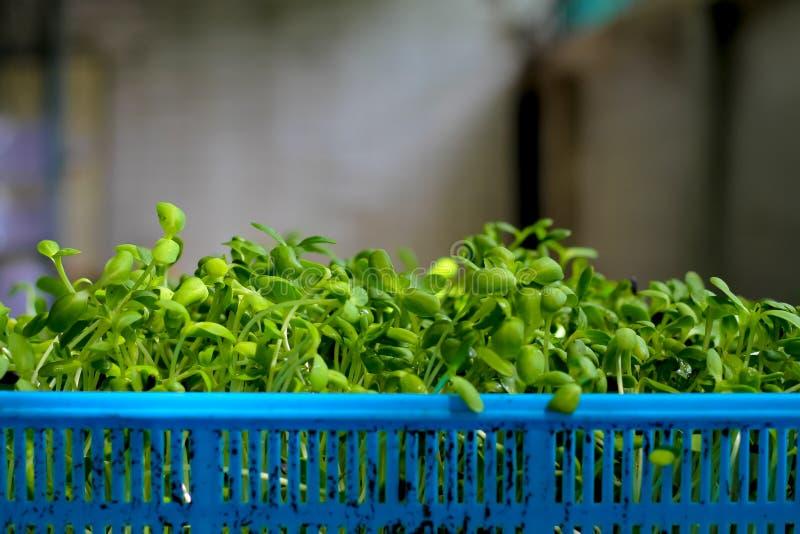 在长大的篮子的年轻向日葵幼木 库存图片