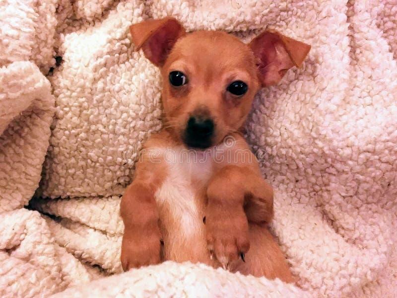 在长毛绒白色毯子的红褐色的chiweenie小狗 图库摄影
