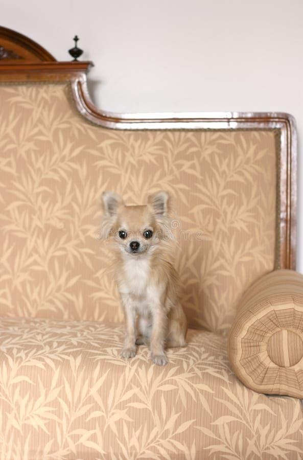 在长沙发的奇瓦瓦狗 库存图片