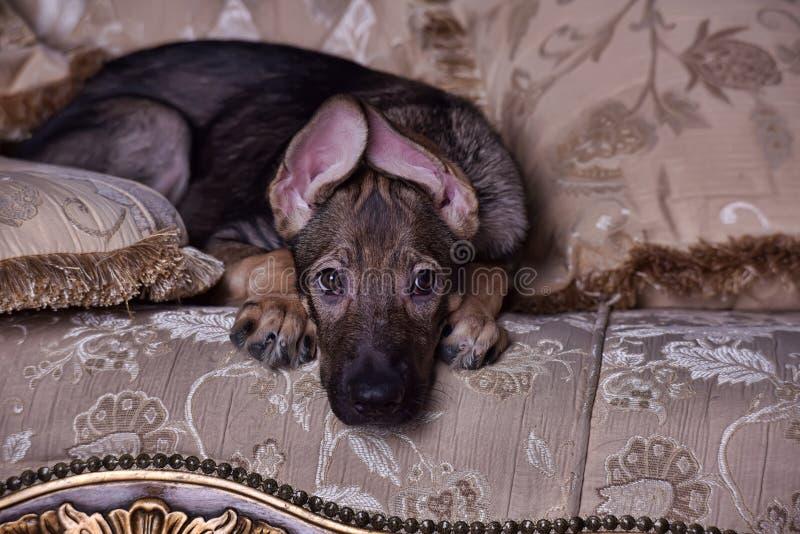 在长沙发的小狗 图库摄影