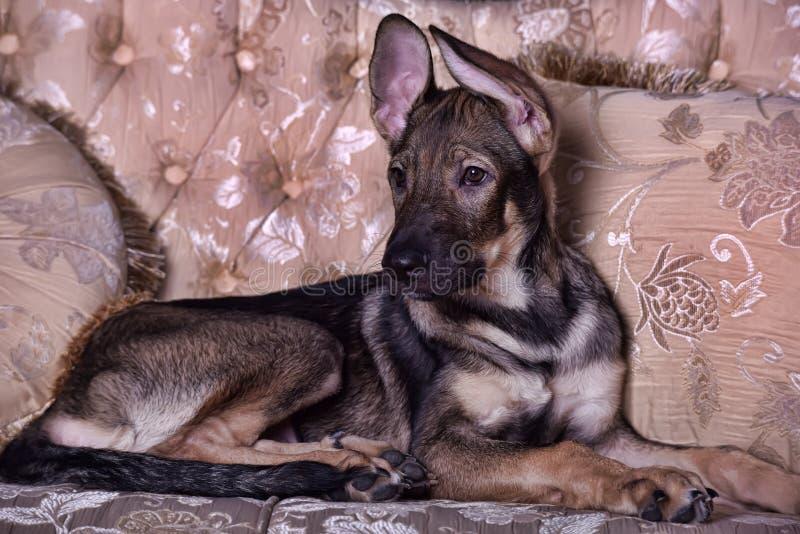 在长沙发的小狗 库存照片