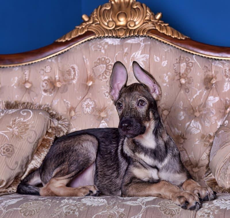 在长沙发的小狗 库存图片
