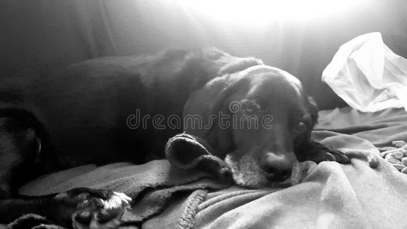 在长沙发的懒惰狗 免版税库存图片