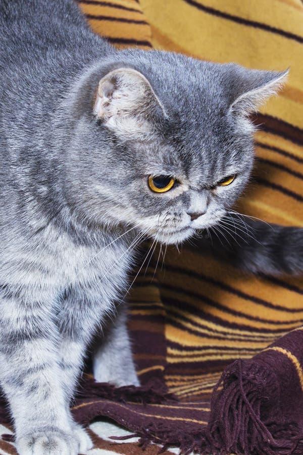 在长沙发的波斯猫 在长沙发的波斯猫 掠食性神色 动物 免版税图库摄影