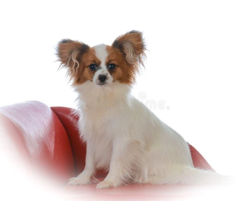 在长沙发的papillon小狗 免版税库存照片