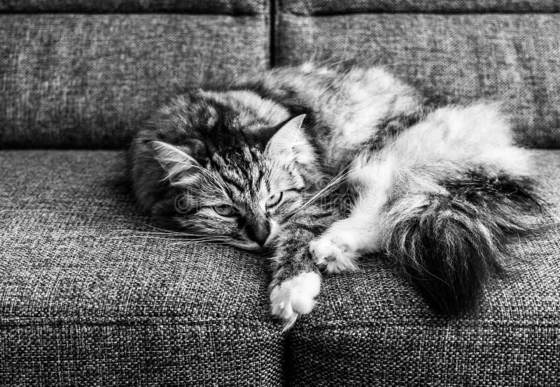 在长沙发(B&W)的猫 图库摄影