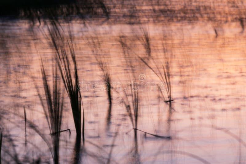 在长的曝光期间被弄脏的芦苇在湖岸 免版税库存照片