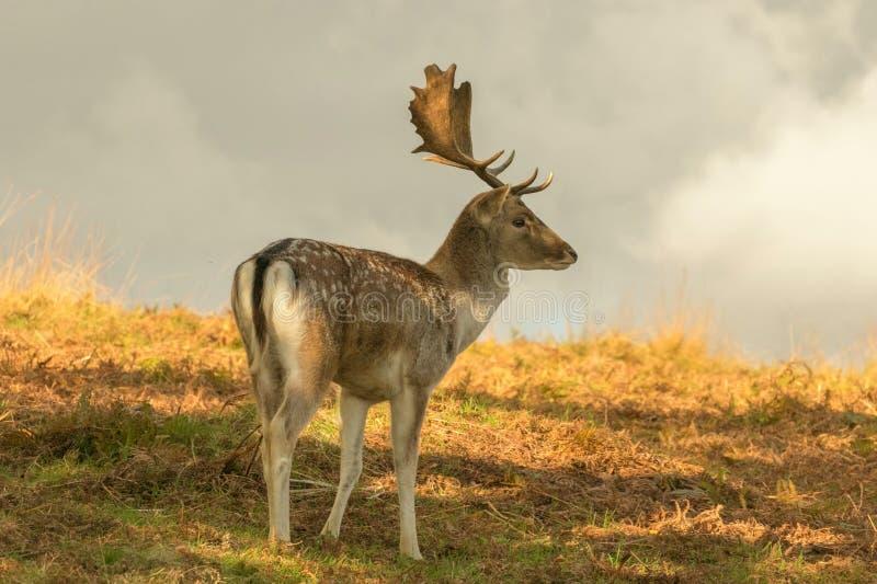 在长的草的小鹿 库存图片