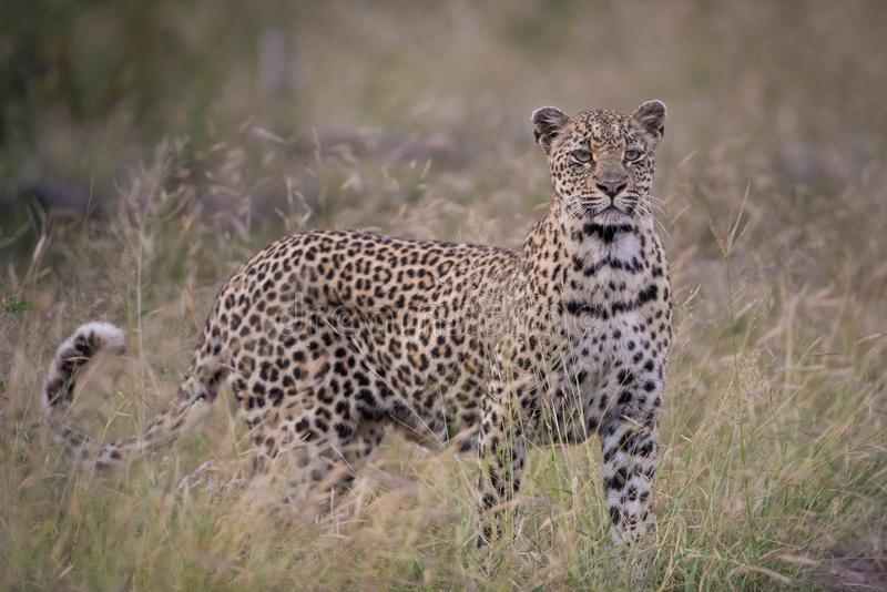 在长的草的幼小母豹子 免版税库存图片