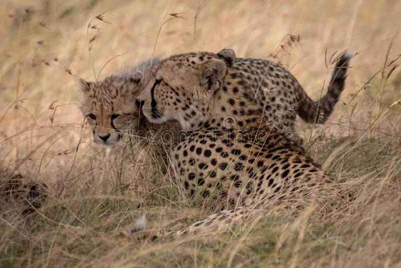 在长的草的猎豹鼻插入崽 免版税库存图片
