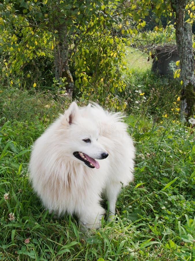 在长的草的蓬松白色狗 库存照片