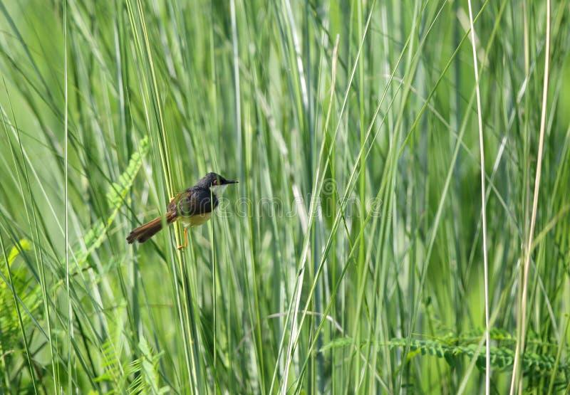 在长的草里面的在岸上的Prinia 免版税库存图片